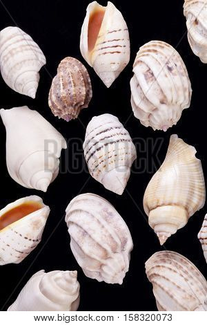 Group of sea shells of marine snails isolated on black background.