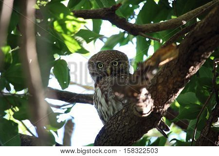 A Pearl-spotted Owlet (Glaucidium perlatum) cautiously watched the observer.
