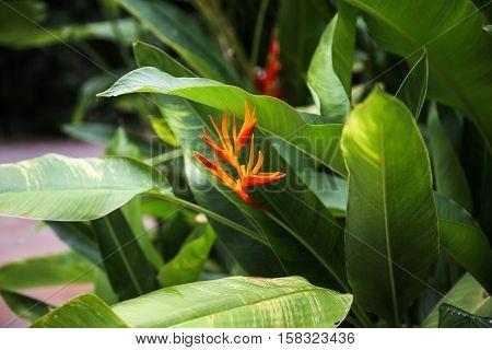 Flower Strelitzia. Bird Paradise. Tenerife, Canary Islands. Tropical garden North Africa. Strelitzia flower Canary islands