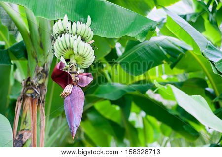 Banana Tree In Daylight Nature Place .