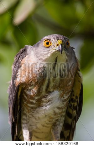Besra Or Little Sparrow Hawks