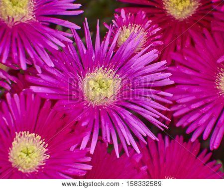 cactus dark pink flowers closeup natural background
