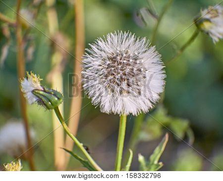 dandelion seeds head closeup in the fields