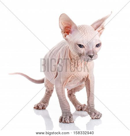 Sphynx hairless cat posing in studio on a white background