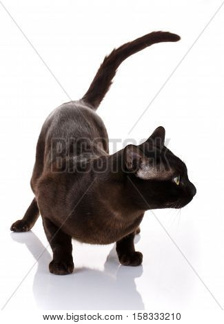 black Burmese cat on a white background, preparing to attack, puma style