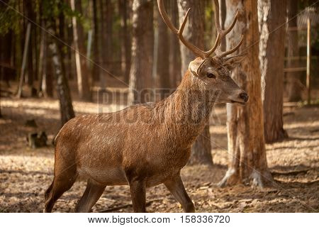 A portrait of a wild deer buck in the forest