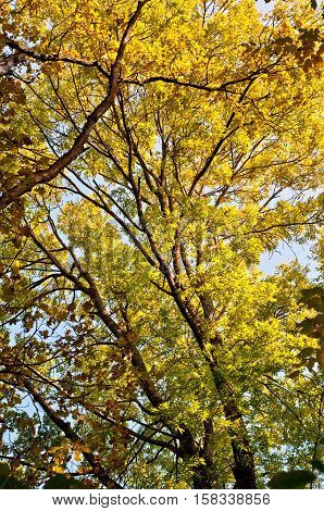 Autumn background. Tree with golden leaves in autumn. Beautiful colorful autumn leaves.