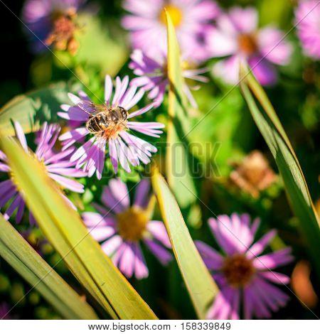 Bee on flower background. Honey bee on beautiful violet flower.