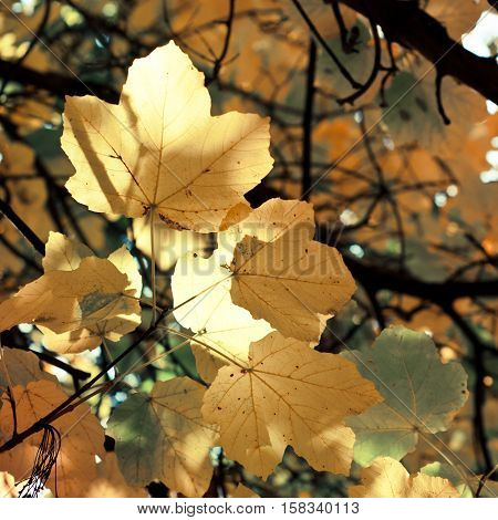 Autumnal maple leaves in blurred background. Yellow foliage in sunlight