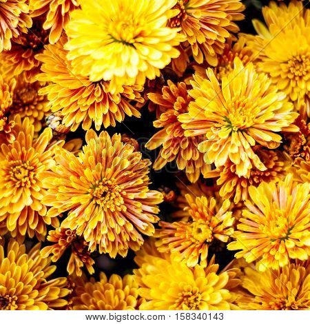 Colorful autumnal chrysanthemum background. Yellow flowers bouquet.
