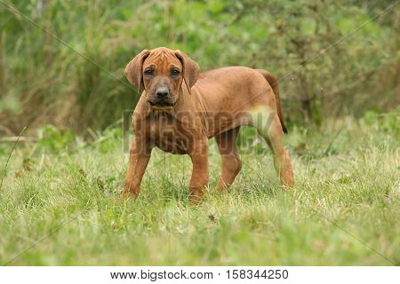 Adorable Puppy Of Rhodesian Ridgeback In The Garden