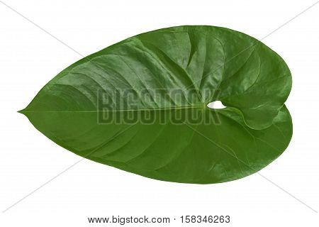 Isolated beautiful green Philodendron leaf plant on a white background. Closeup texture useful for 3d texturing to create an exotic tropical nature outdoors