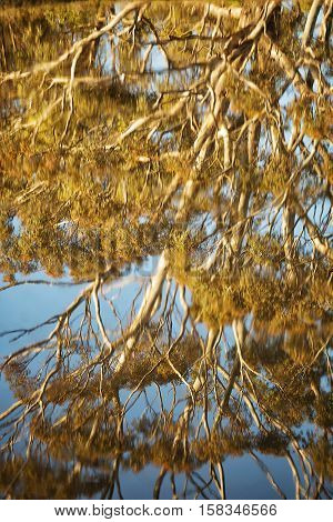 Beautiful reflection in late afternoon light of a large Eucalypt tree, near Lake Crescent, Tasmania