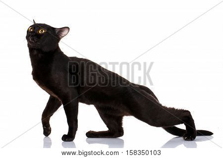 Bombay Black Cat bent a puma on a white background. graceful predator