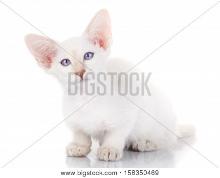 portrait of a cute white cat with big ears and blue eyes, lying on a white background