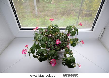 Indoor flower in a pot on the windowsill poster