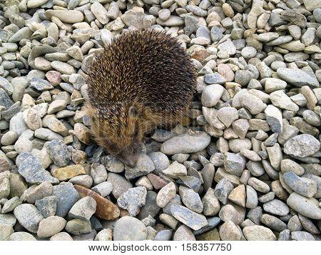Hedgehog, Walking On Gravel. Hedgehog On A Rock.