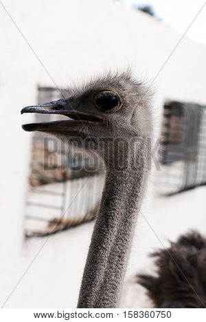 Ostrich head afrikanskogos black beak and large eyes