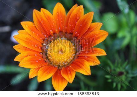 Yellow, orange and brown gazania daisy flower.