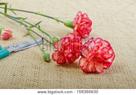 Cut carnation on burlap beside scissors to make bouquet