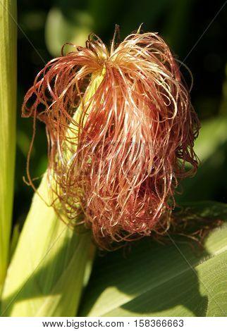 Baby ear of corn with fresh stigmas