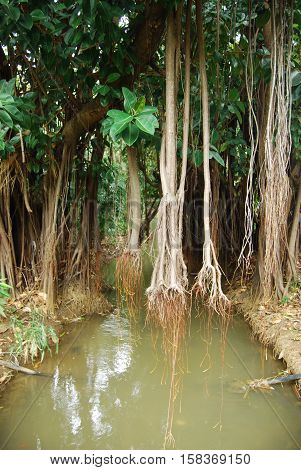 Copse with hanging lianas on a strem