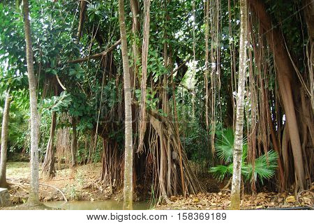 Group Of Trees With Lianas In Mauritius