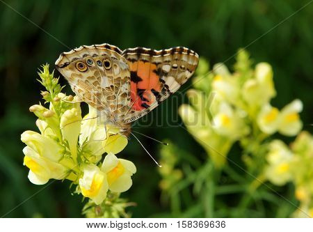 Colorful butterfly Vanessa cardui also known as Painted lady on the flowers of common toadflax (Linaria vulgaris) in a meadow