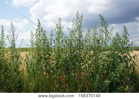 Common weed and medicinal plant Atriplex (saltbush orache) adult plants in the field