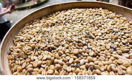 freshly harvests kopi luwak or civet coffee, refers to the coffee that includes part-digested coffee cherries eaten and defecated by the Asian palm civet