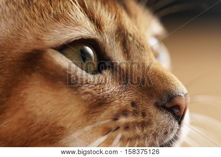 closeup portrait of abyssinian kitten with focus on the eye, shallow focus