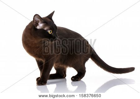 black cat burmese standing on a white background with tail held high, side view, looks toward
