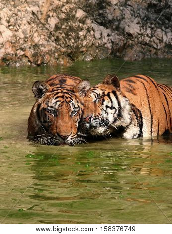 Tiger Love and tenderness. Lovers tigers in the lake, Thailand, Tiger Temple