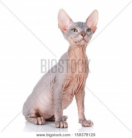 Sphynx hairless cat siting on a white background, looking up