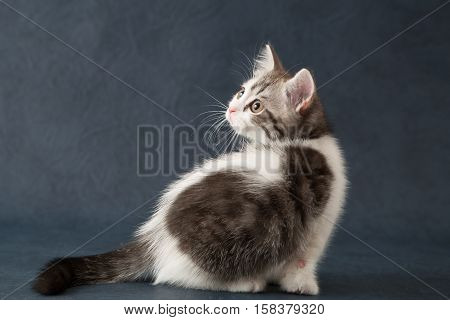 Young scottish straight cat sitting on dark blue background