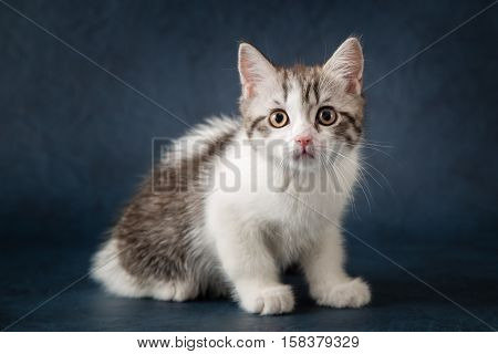 Young scottish straight kitten sitting on dark blue background