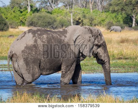 Huge elephant bull drinking from river water, safari in Moremi NP, Botswana, Africa.