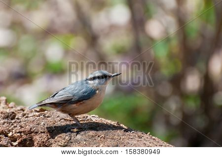 Nuthatch bird in nature. Spring sunny day.