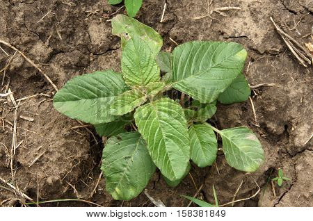Weed and medicinal plant Amaranthus retroflexus (red-root amaranth redroot pigweed common amaranth) young sprout