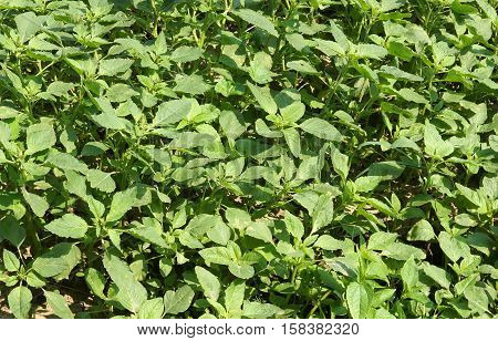 Weed and medicinal plant Amaranthus retroflexus (red-root amaranth redroot pigweed) texture as background