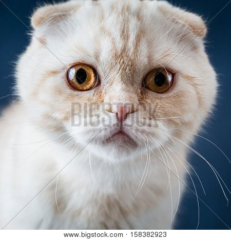Cat scottish fold  with beautiful yellow eyes on blue background