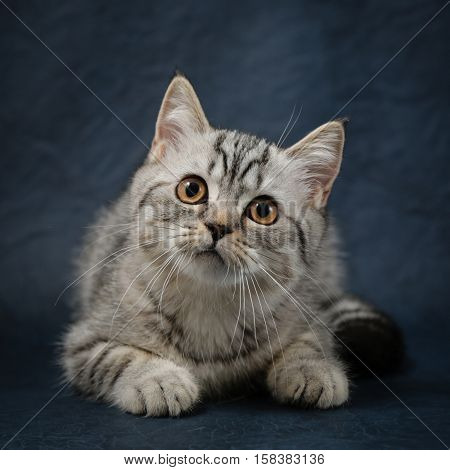 Portrait of Scottish Straight cat with beautiful yellow eyes on dark blue background