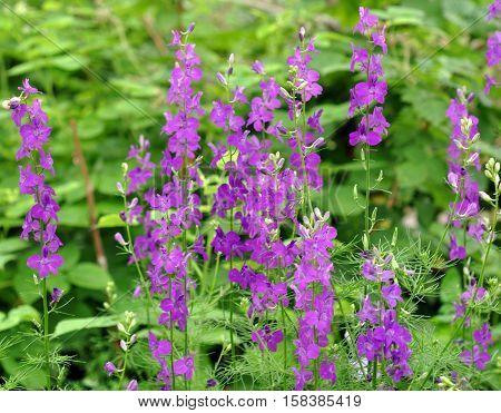 Violet delphinium flowers closeup in summer garden