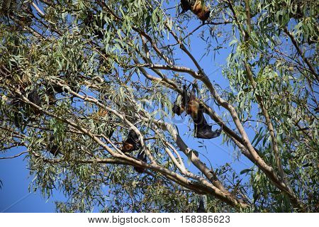 Giant bats hanging upside down from a tree in Rajasthan, India