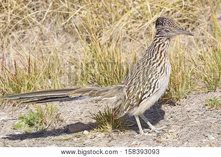 Road Runner in the Desert in Big Bend National Park in Texas