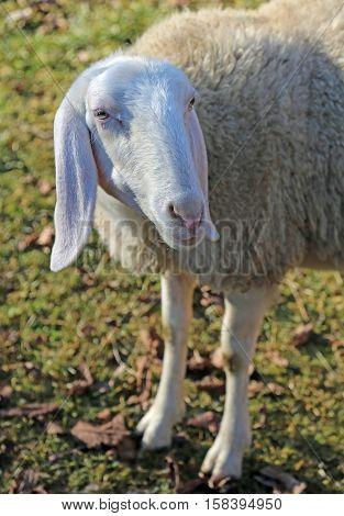 Sheep With Long Ears And Fleece
