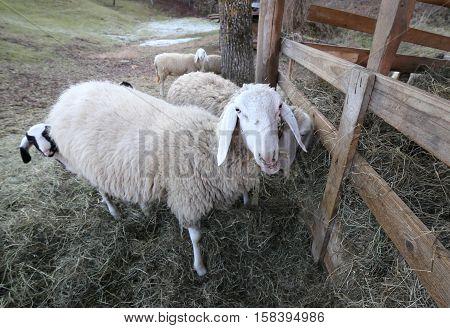 Big Mother Ewe And Her Lamb Hiding Behind