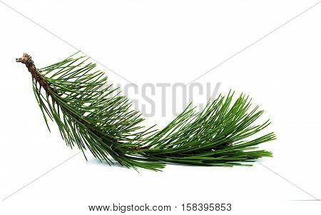 Christmas tree. Pine spruce fir tree. Coniferous branches on white background.