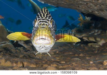 Sweetlips fish, Plectorhinchus orientalis, hiding under hard coral.