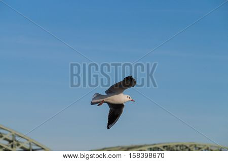 Seagull in flight. Seagulls and Birds in flight